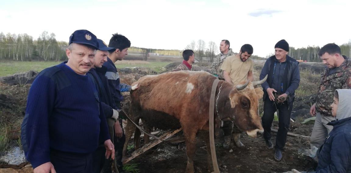 Ореховозуевские спасатели спасли беременную корову, свалившуюся в яму